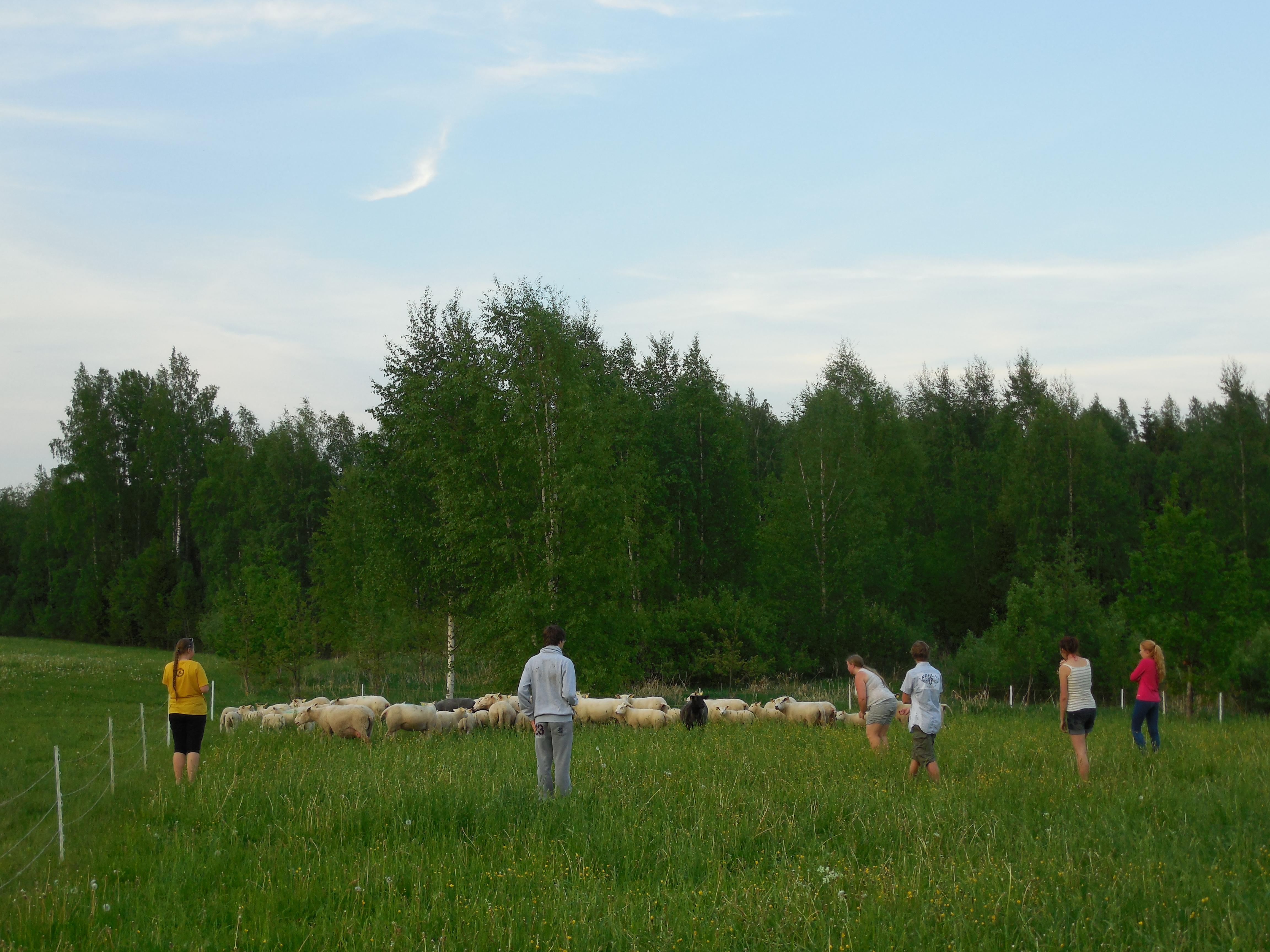 Õpilased lammastega tutvusi sobitamas